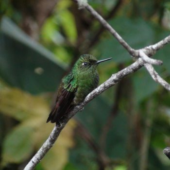 Bird in Cloud Forest Reserve, Quito, Ecuador